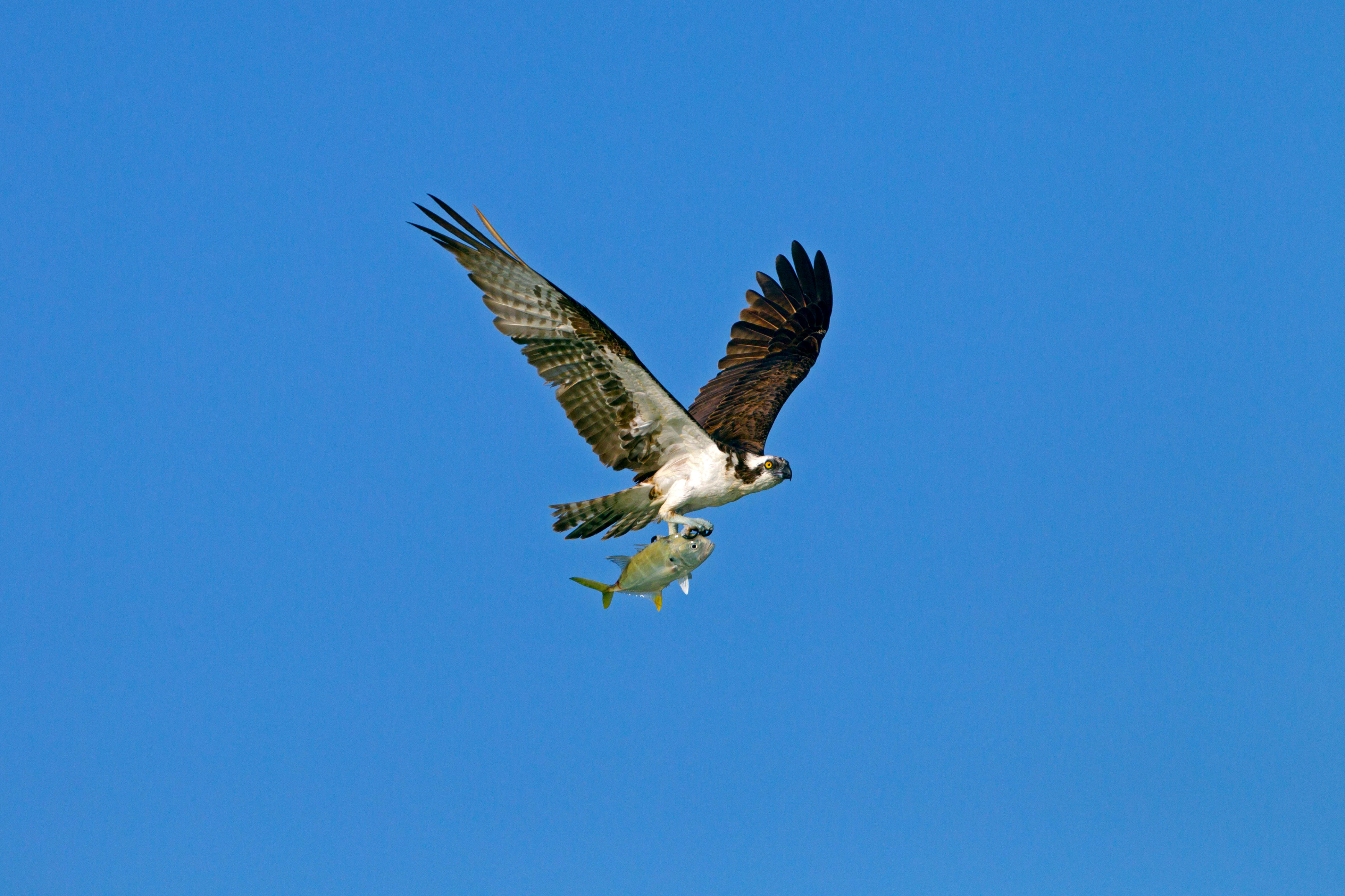 Osprey © Ernie Janes / Alamy Stock Photo