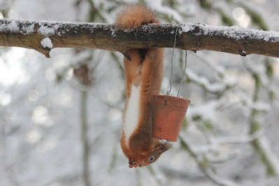 Red squirrel at Cluny House Gardens in winter © Wendy Mattingley