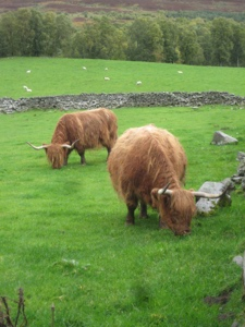 Highland cows at Rannoch