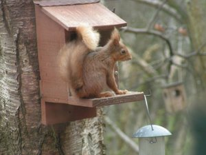 Red squirrel at Loch of the Lowes