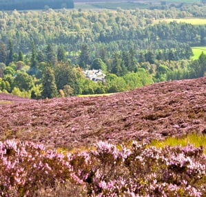 Heather in flower at Pitcarmick