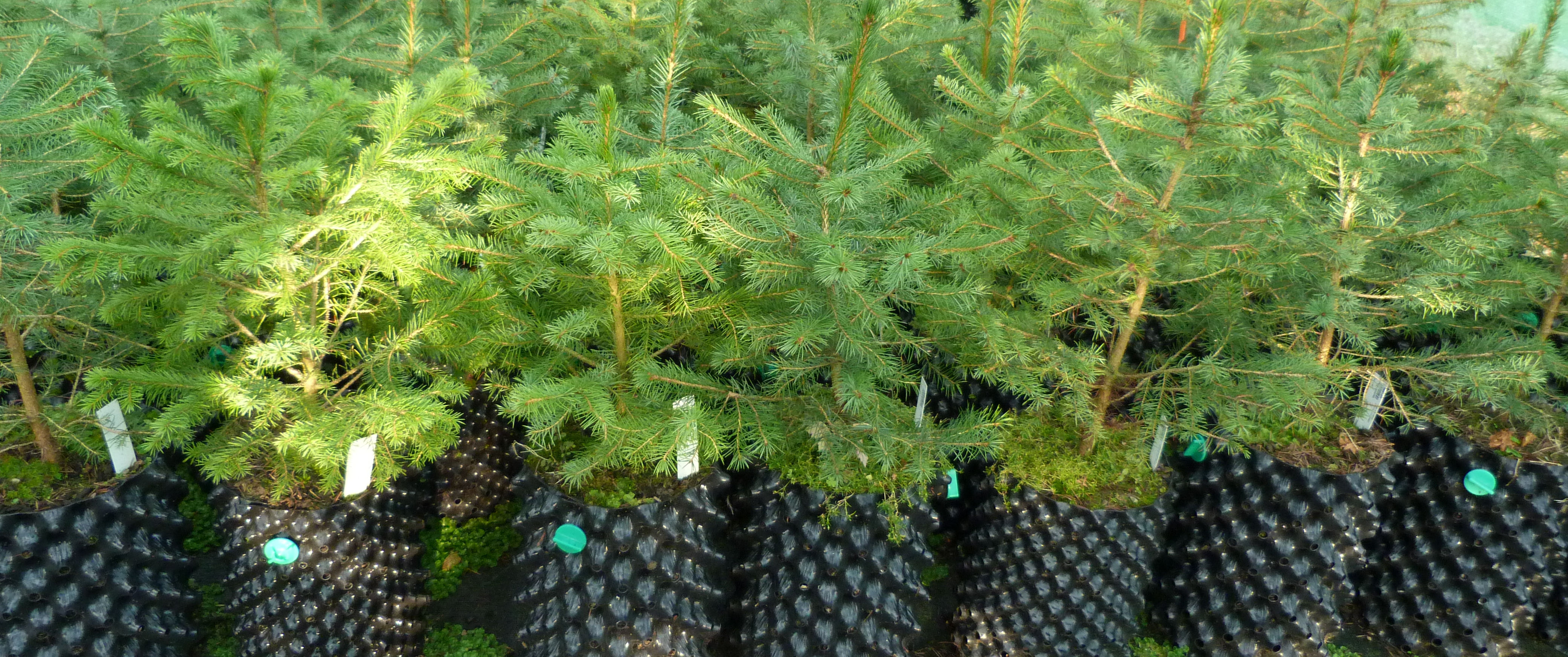 Young Serbian Spruce trees at RBGE Nursery