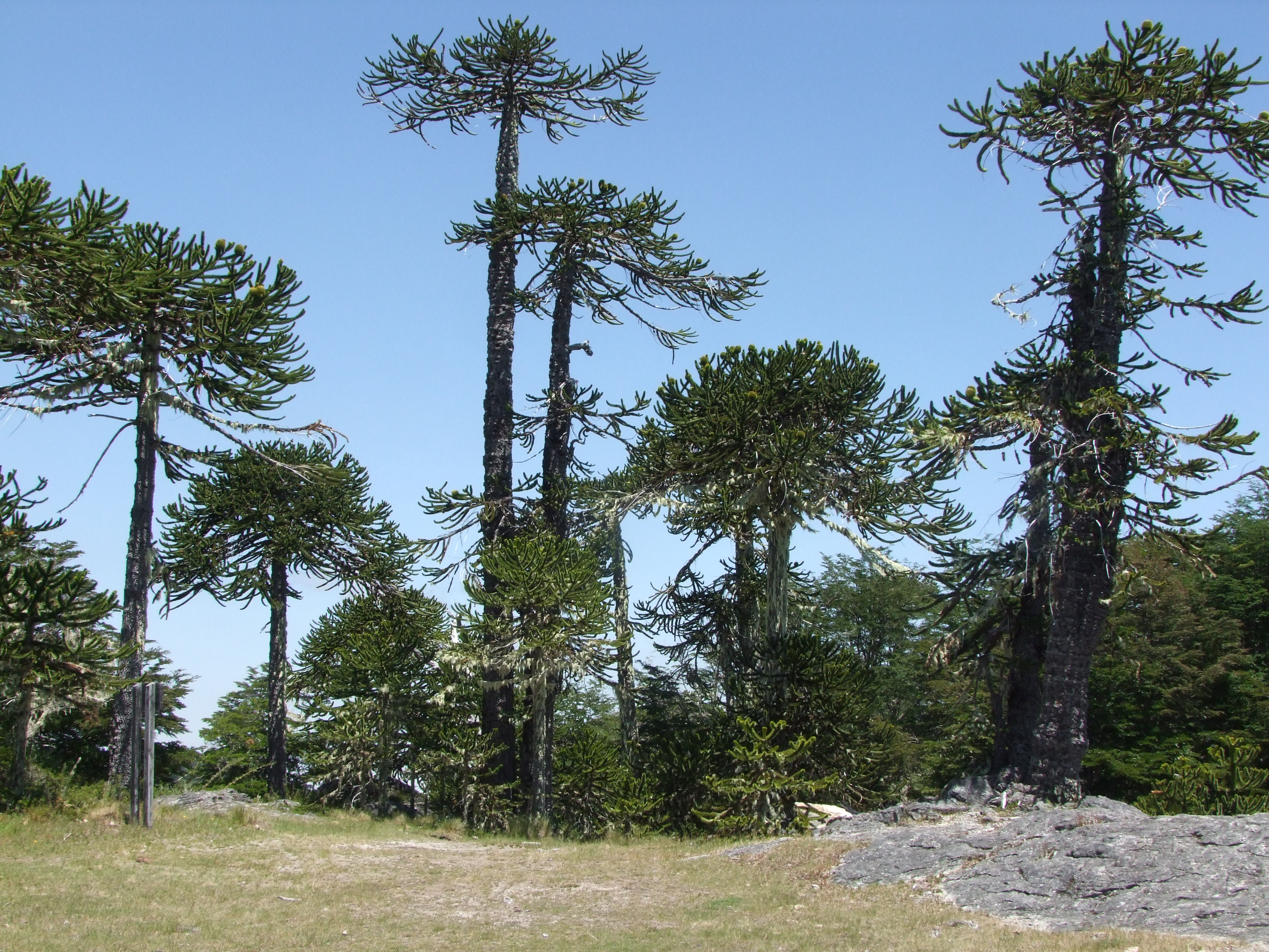 The newly planted monkey puzzles were grown from seed collected in native forests like this one in Chile