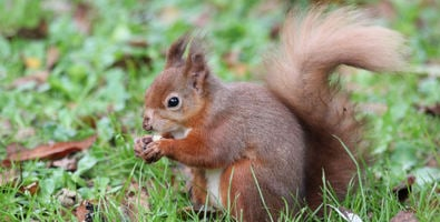 Red squirrel in Cluny House Gardens