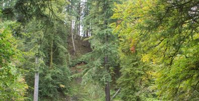 The Hermitage Douglas Fir