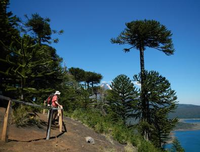 Chilie Monkey Puzzles Picture