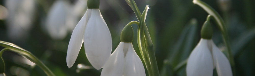 Snowdrops at Cluny House Gardens