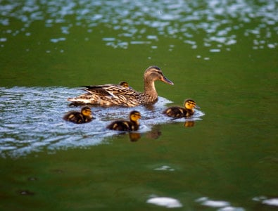 A mother duck on a river with four ducklings © VisitScotland / Paul Tomkins, all rights reserved