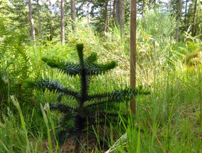 One of the new monkey puzzle trees planted in Tay Forest Park