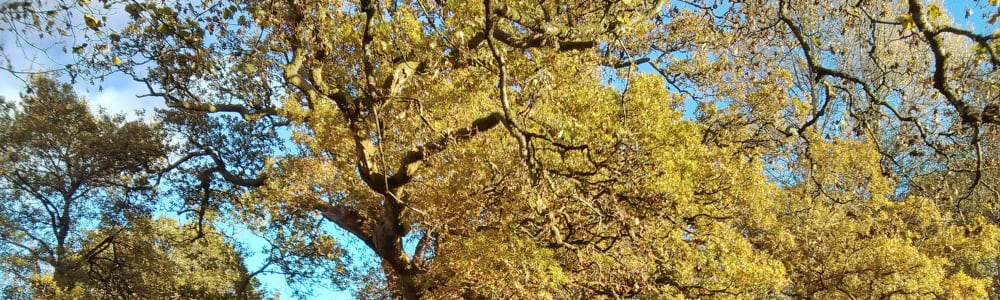 Artists invited to showcase Birnam Oak