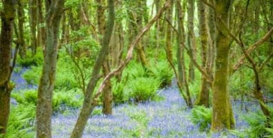 Bluebell Wood at Blairgowrie © Photos by Zoe